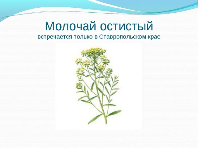 Молочай остистый встречается только в Ставропольском крае