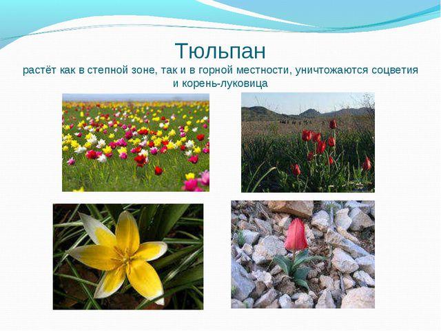 Тюльпан растёт как в степной зоне, так и в горной местности, уничтожаются соц...