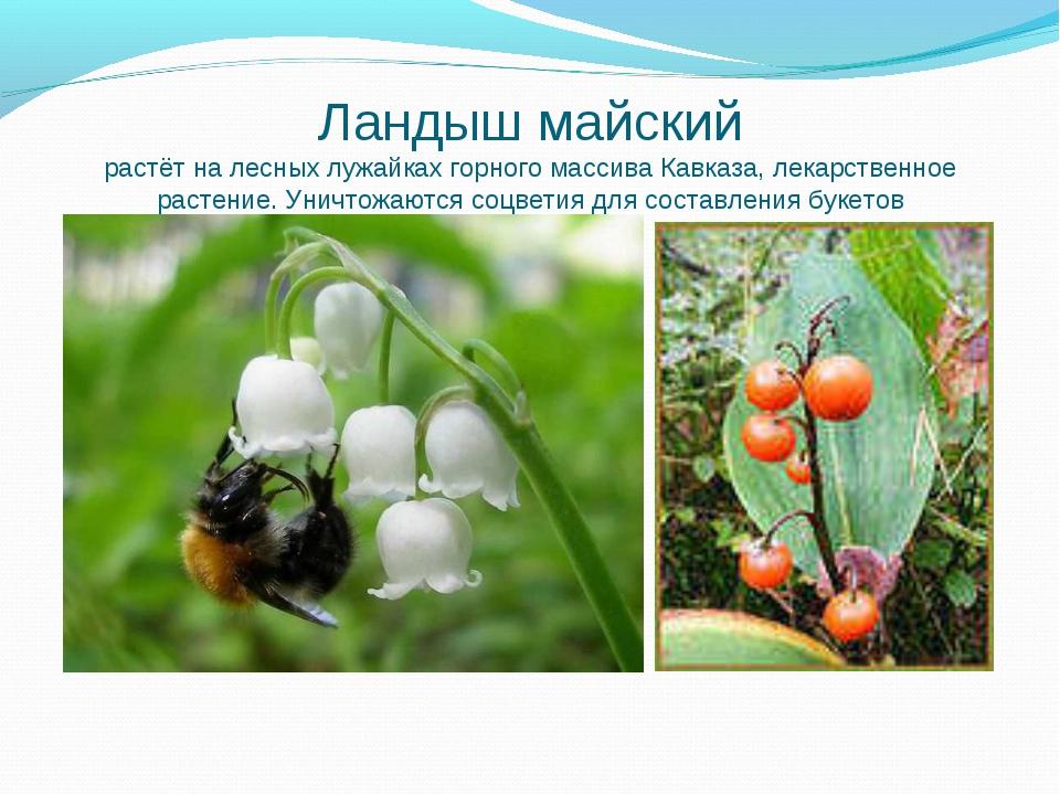 Ландыш майский растёт на лесных лужайках горного массива Кавказа, лекарственн...