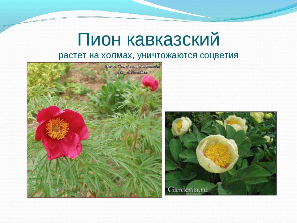 Пион кавказский растёт на холмах, уничтожаются соцветия