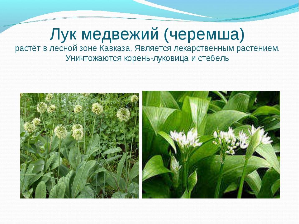 Лук медвежий (черемша) растёт в лесной зоне Кавказа. Является лекарственным р...