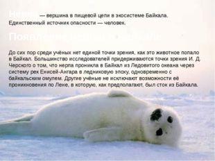Нерпа — вершина в пищевой цепи в экосистеме Байкала. Единственный источник оп