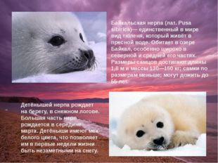 Детёнышей нерпа рождает на берегу, в снежном логове. Большая часть нерп рожда