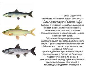 Байкальский омуль — эндемик озера Байкал, в сентябре — ноябре выходит на нере