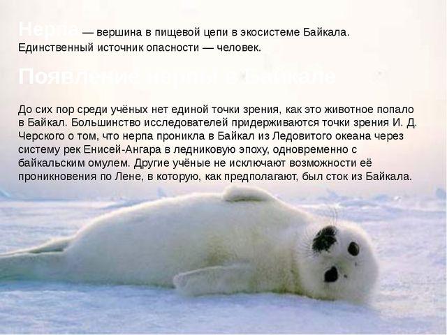 Нерпа — вершина в пищевой цепи в экосистеме Байкала. Единственный источник оп...
