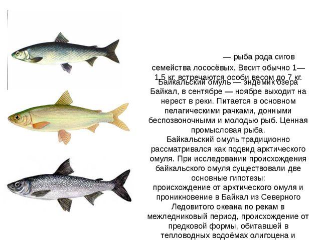 Байкальский омуль — эндемик озера Байкал, в сентябре — ноябре выходит на нере...