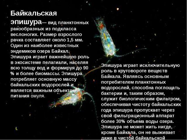 Байкальская эпишура— вид планктонных ракообразных из подкласса веслоногих. Ра...