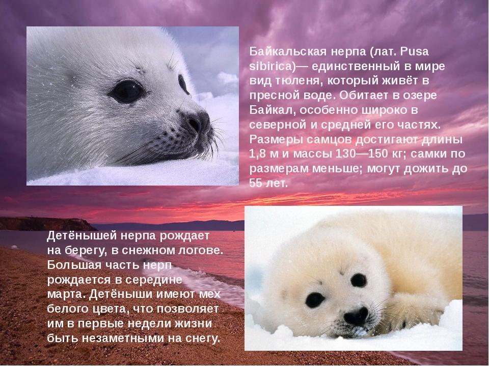 Детёнышей нерпа рождает на берегу, в снежном логове. Большая часть нерп рожда...