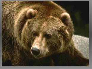 · Медведи очень умные животные, отдельные особи научились закатывать камни в