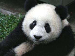 Панда По внешнему виду она очень похожа на медвежонка. Поэтому ее иными слова