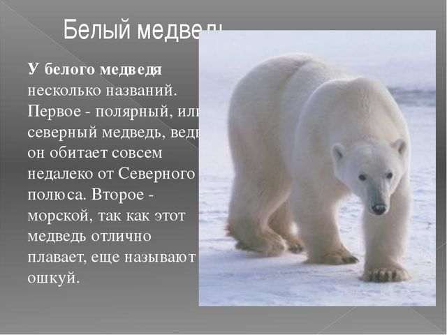 У белого медведя несколько названий. Первое - полярный, или северный медведь,...