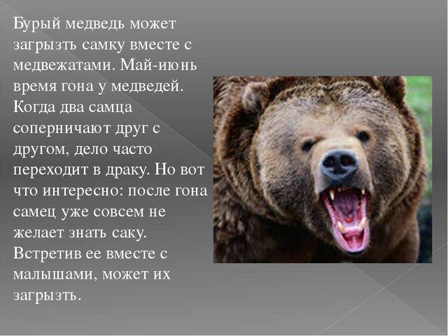 Бурый медведь может загрызть самку вместе с медвежатами. Май-июнь время гона...