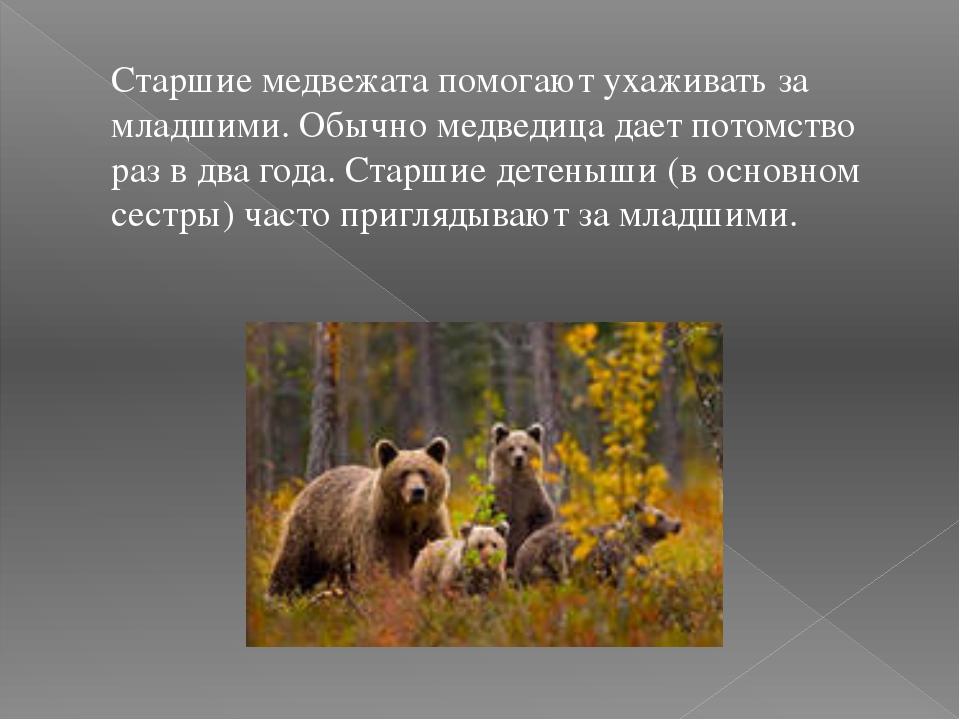 Старшие медвежата помогают ухаживать за младшими. Обычно медведица дает потом...