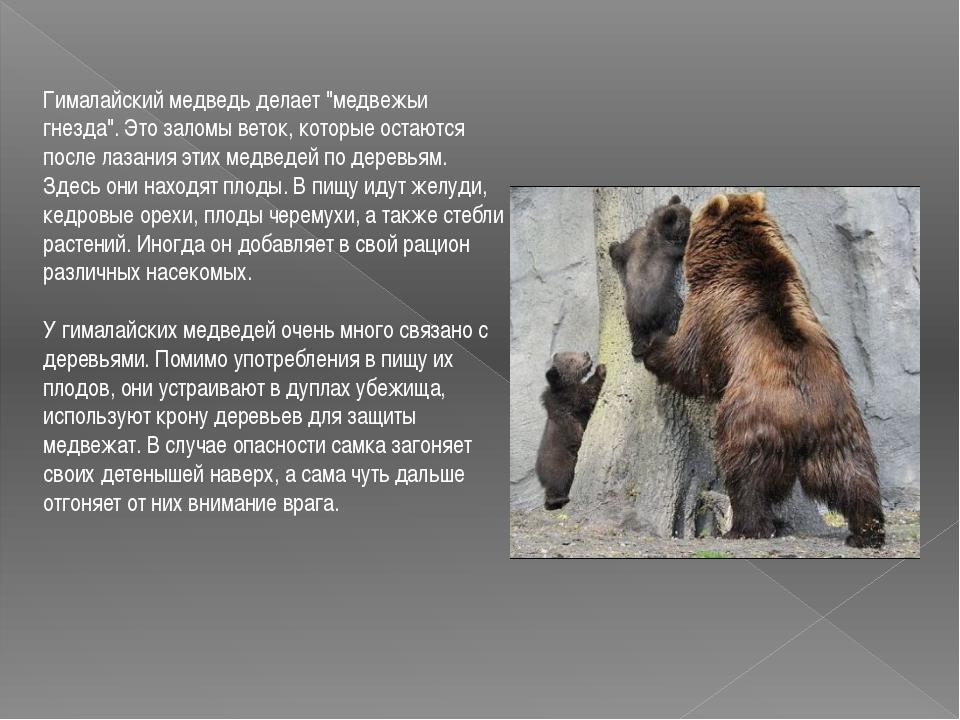 """Гималайский медведь делает """"медвежьи гнезда"""". Это заломы веток, которые оста..."""