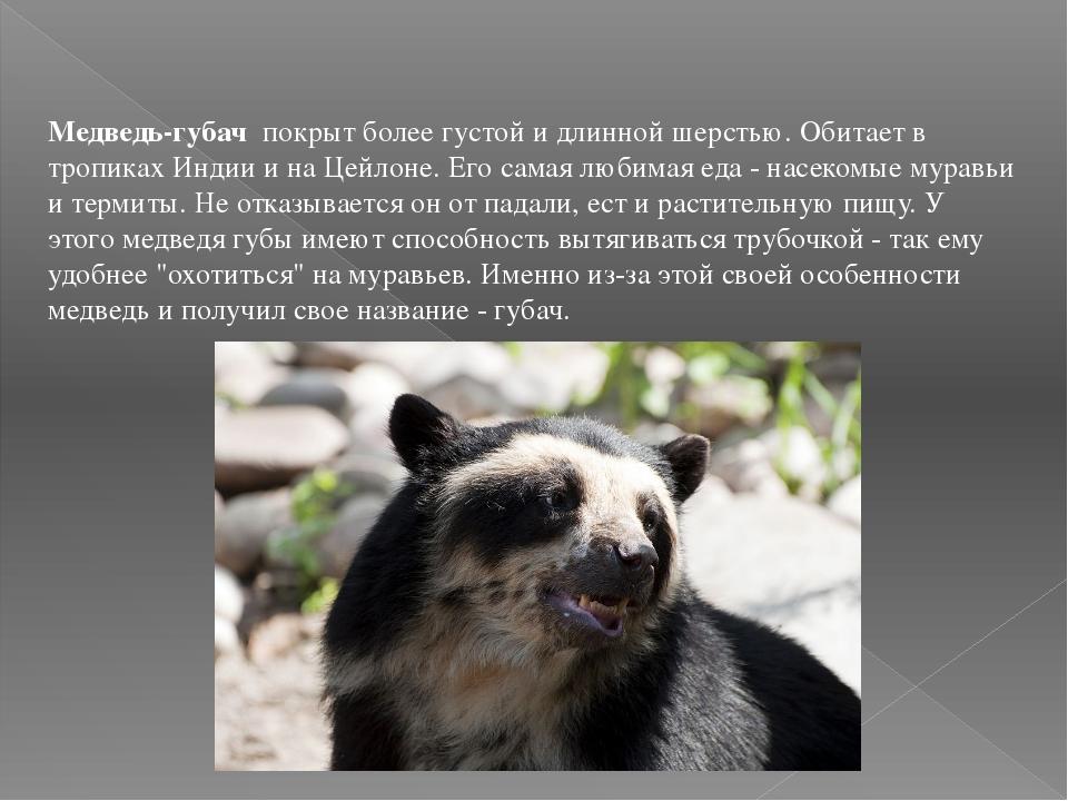 Медведь-губач покрыт более густой и длинной шерстью. Обитает в тропиках Индии...