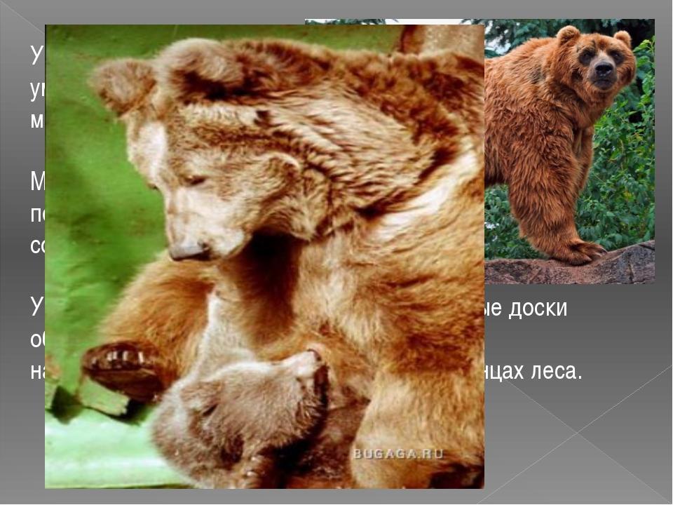 У медведей на лапах по пять пальцев, медведи умеют, как человек, ходить и бег...
