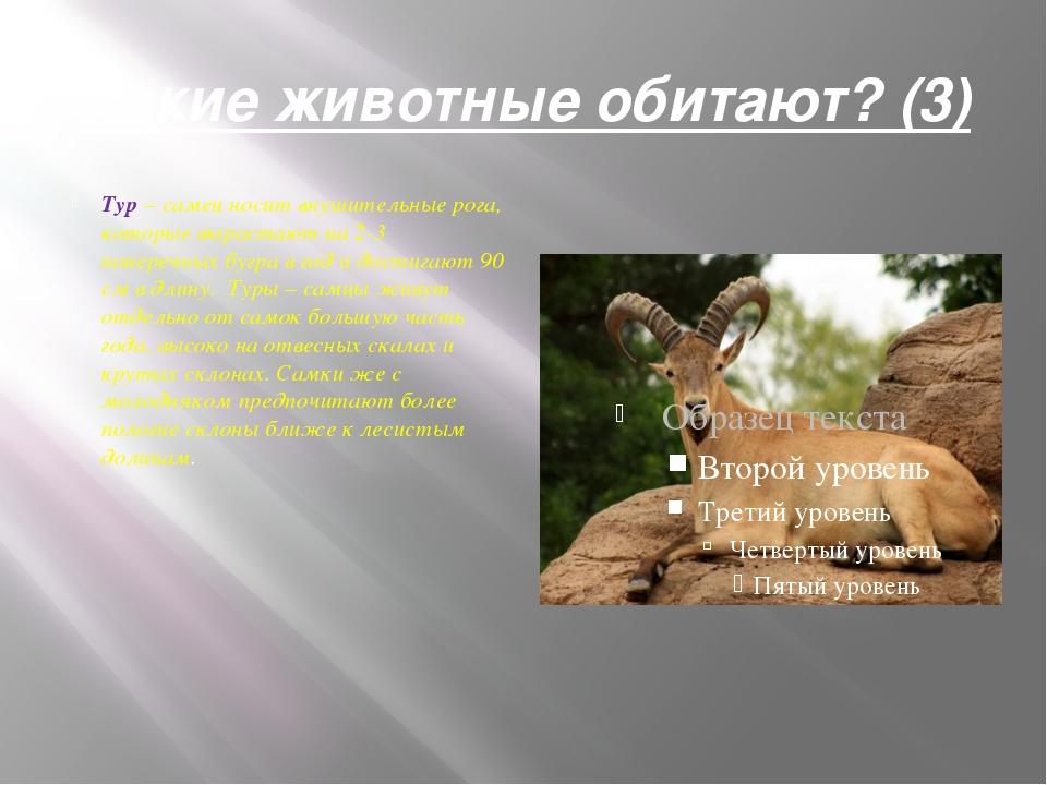 Какие животные обитают? (3) Тур– самец носит внушительные рога, которые выра...