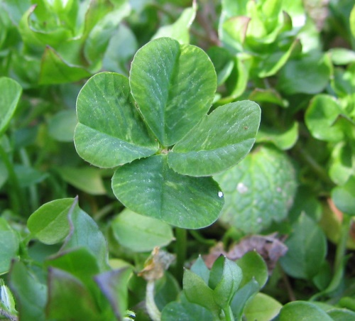 http://upload.wikimedia.org/wikipedia/commons/2/25/Four-leaf_clover.jpg