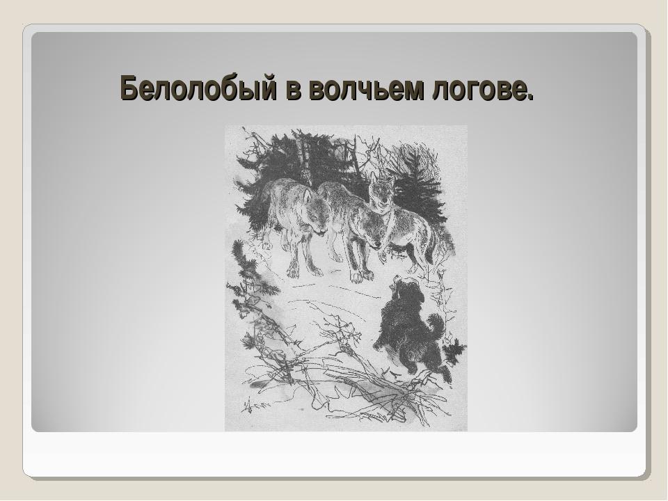 Белолобый в волчьем логове.