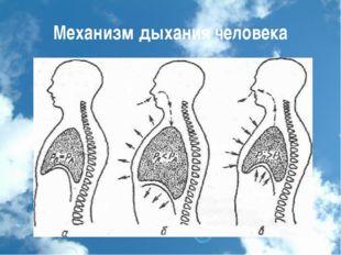 Механизм дыхания человека