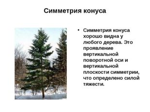 Симметрия конуса Симметрия конуса хорошо видна у любого дерева. Это проявлени