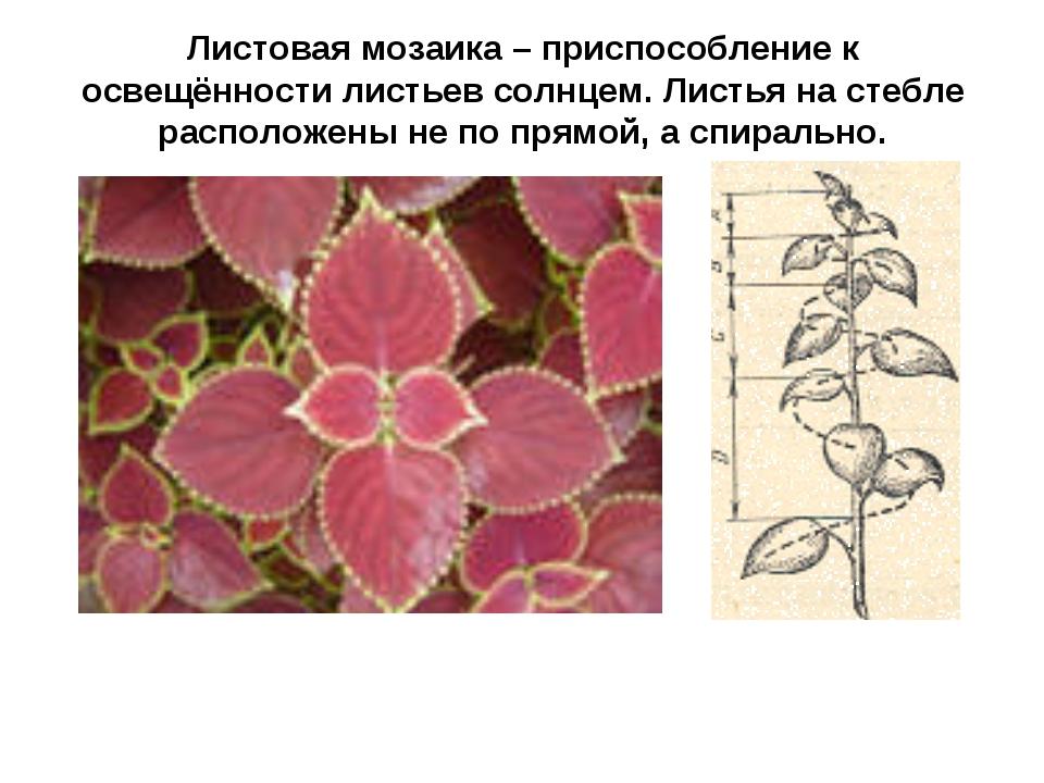 Листовая мозаика – приспособление к освещённости листьев солнцем. Листья на с...