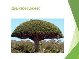 Драконово дерево Это чудо – дерево называется Драконово дерево с острова Тен