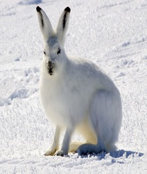 http://upload.wikimedia.org/wikipedia/commons/thumb/e/e3/Arctic_Hare_1.jpg/601px-Arctic_Hare_1.jpg