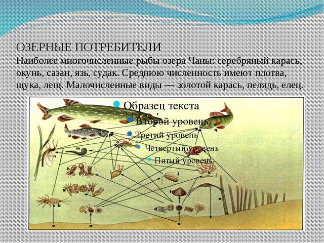 ОЗЕРНЫЕ ПОТРЕБИТЕЛИ Наиболее многочисленные рыбы озера Чаны: серебряный карас...