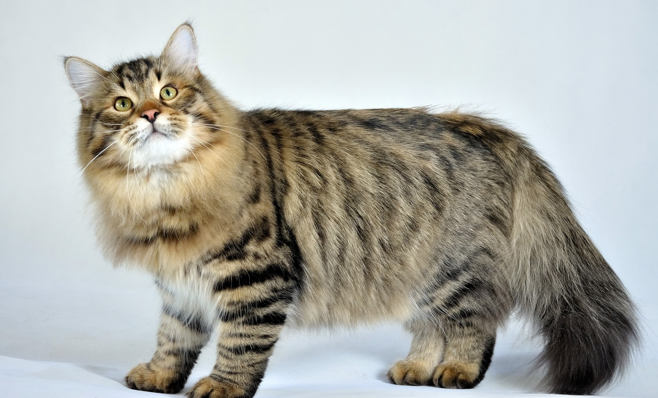 http://www.zastavki.com/pictures/originals/2013/Animals___Cats_Siberian_cat_posing_on_a_white_background_045072_.jpg