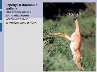 Геренук (Litocranius walleri) Эта африканская антилопа имеет исключительно дл