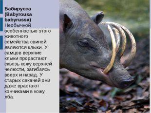 Бабирусса (Babyrousa babyrussa) Необычной особенностью этого животного семейс