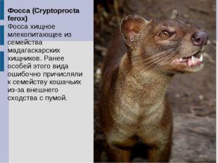 Фосса (Cryptoprocta ferox) Фосса хищное млекопитающее из семейства мадагаскар