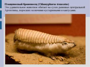 Плащеносный броненосец (Chlamyphorus truncatus) Это удивительное животное оби