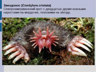 Звездонос (Condylura cristata) Североамериканский крот с двадцатью двумя кожн
