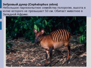 Зебровый дукер (Cephalophus zebra) Небольшое парнокопытное семейства полороги
