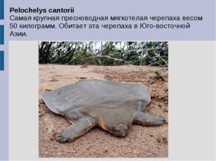 Pelochelys cantorii Самая крупная пресноводная мягкотелая черепаха весом 50 к
