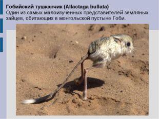 Гобийский тушканчик (Allactaga bullata) Один из самых малоизученных представи