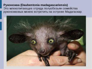 Руконожка (Daubentonia madagascariensis) Это млекопитающее отряда полуобезьян