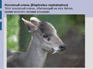 Хохлатый олень (Elaphodus cephalophus) Этот хохлатый олень, обитающий на юге