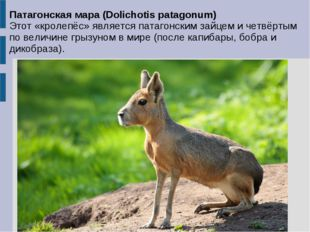 Патагонская мара (Dolichotis patagonum) Этот «кролепёс» является патагонским