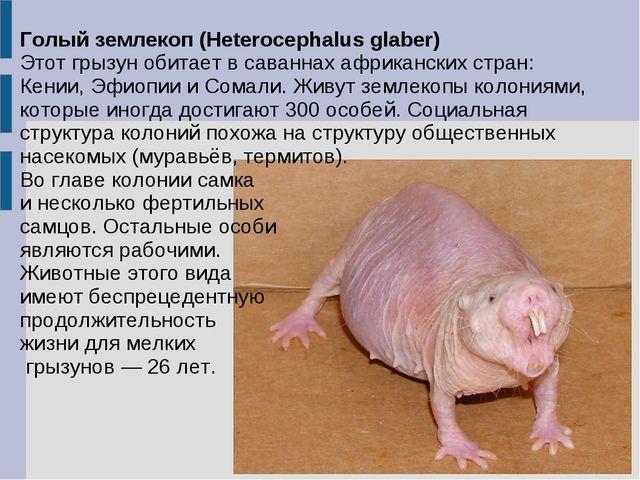 Голый землекоп (Heterocephalus glaber) Этот грызун обитает в саваннах африкан...