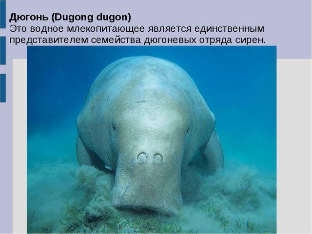 Дюгонь (Dugong dugon) Это водное млекопитающее является единственным представ...