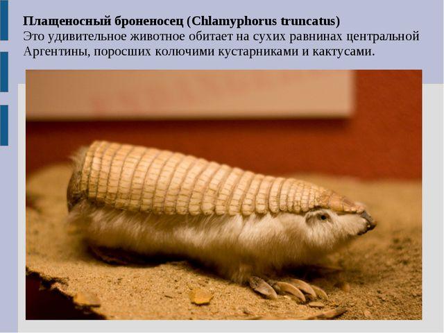 Плащеносный броненосец (Chlamyphorus truncatus) Это удивительное животное оби...