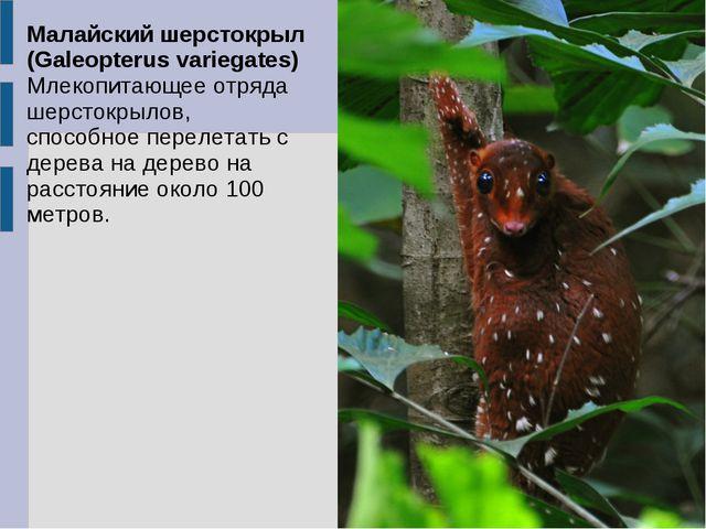 Малайский шерстокрыл (Galeopterus variegates) Млекопитающее отряда шерстокрыл...