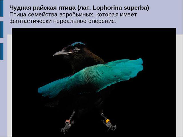 Чудная райская птица (лат. Lophorina superba) Птица семейства воробьиных, кот...