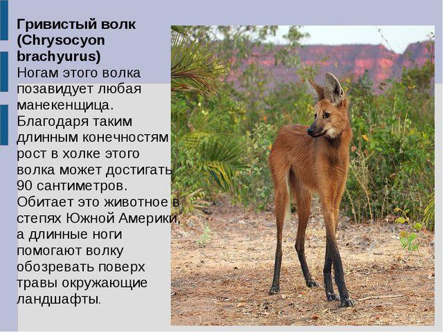 Гривистый волк (Chrysocyon brachyurus) Ногам этого волка позавидует любая ман...
