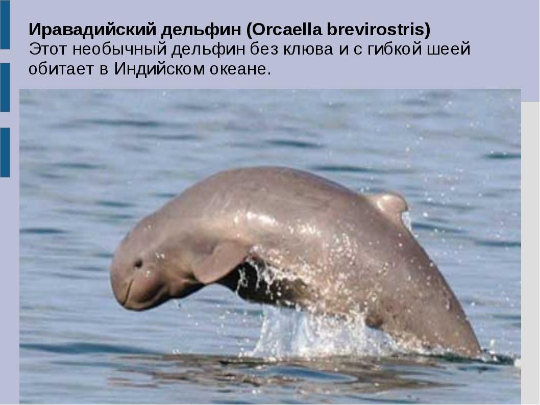 Иравадийский дельфин (Orcaella brevirostris) Этот необычный дельфин без клюва...