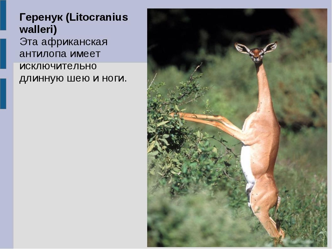 Геренук (Litocranius walleri) Эта африканская антилопа имеет исключительно дл...