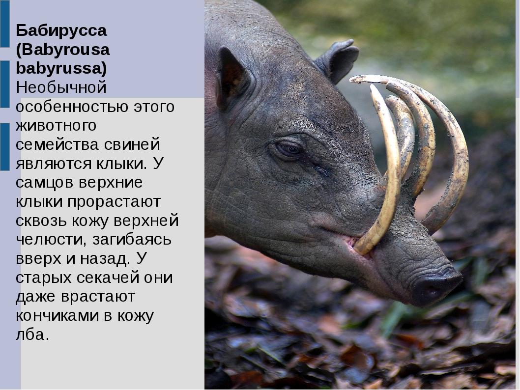 Бабирусса (Babyrousa babyrussa) Необычной особенностью этого животного семейс...